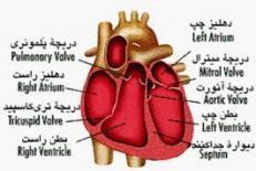 دانلود تحقیق قلب دستگاه مركزي بدن